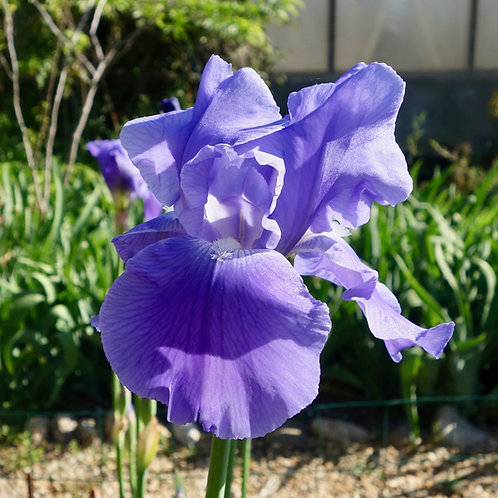 Bearded Iris 'Pacific Panorama'