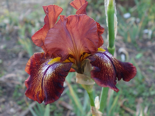 Bearded Iris 'Pagan'