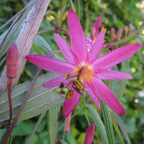 Passiflora hyacinthiflora