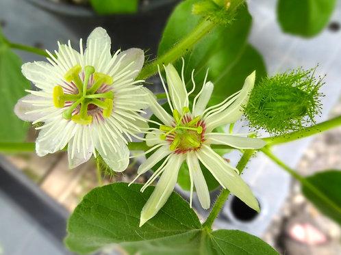 Passiflora Foetida x Passiflora Rubra
