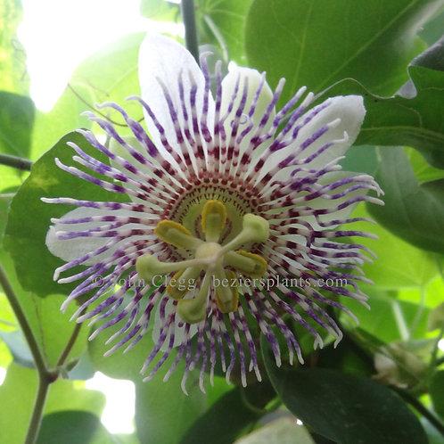 Passiflora Lucas