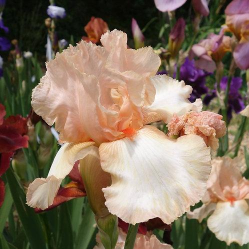 TallBearded Iris 'One Desire'