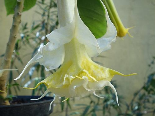 Brugmansia Lemon Sorbet