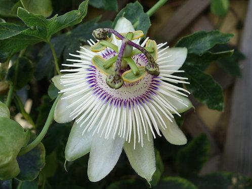 Passiflora Winterland (Hardy)