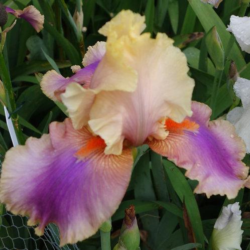 Bearded Iris 'Colette Thurillet'