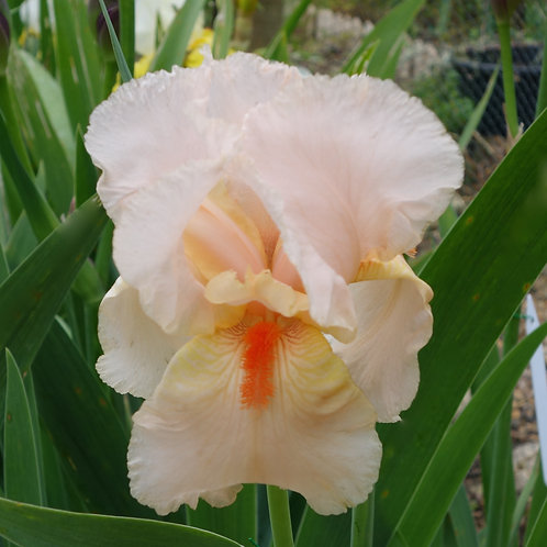Bearded Iris 'Beverly Sills'