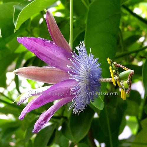 Passiflora Loeffgrenii Corupa