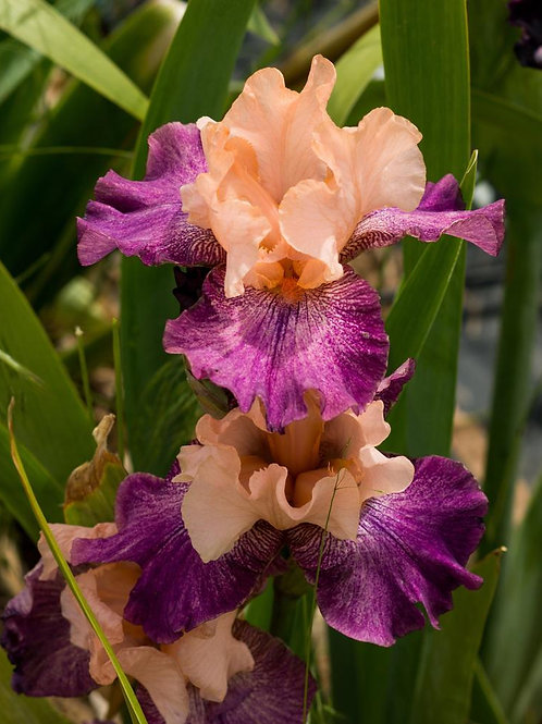 NEW Bearded Iris 'Faux Pas'