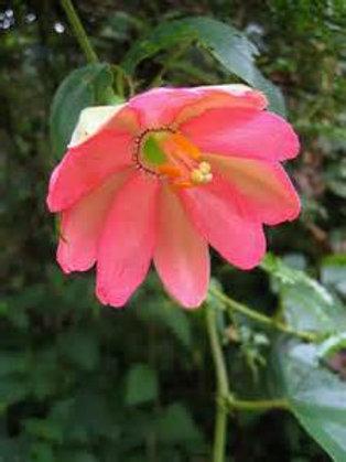 Passiflora mixta Columbia