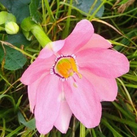 Passiflora coactilis