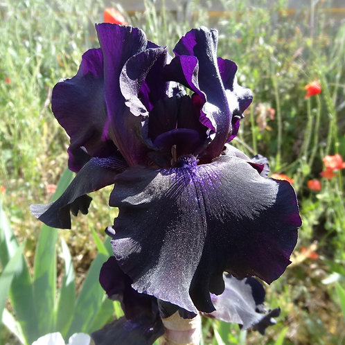 Bearded Iris 'Sambuca'