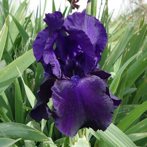 Bearded Iris 'Java Bleue'
