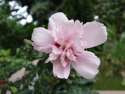Hardy Hibiscus 'Pulcherrimus'
