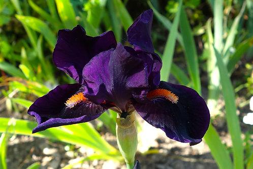 Intermediate Bearded Iris 'Imperative'