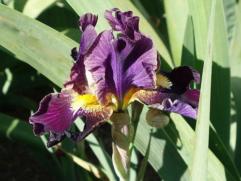NEW Bearded Iris 'Oblivion'