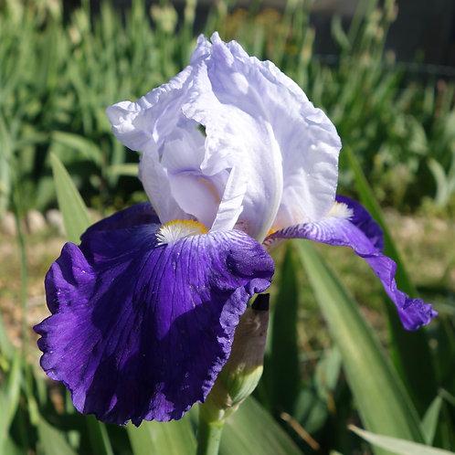 TallBearded Iris 'Arpege'