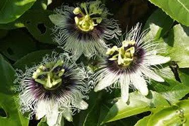 Passiflora Edulis Flavicarpa