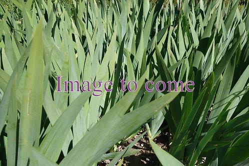 NEW Tall Bearded Iris 'Fit the Bill'