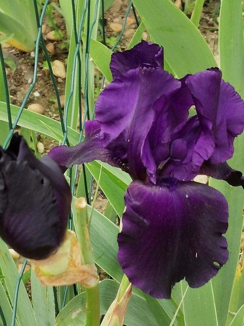 NEW. Bearded Iris 'Tuxedo'