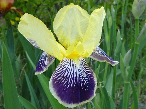 Bearded Iris 'Loreley'
