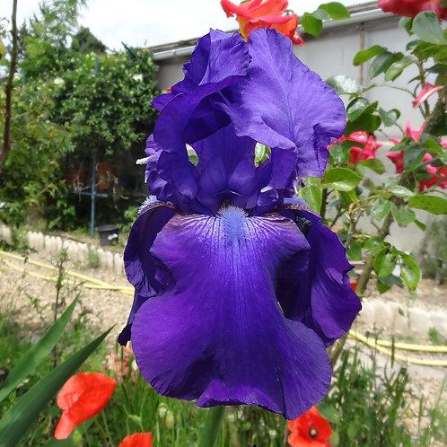 Bearded Iris 'Dusky Challenger'