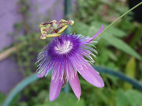 Passiflora Loeffgrenii Iporanga