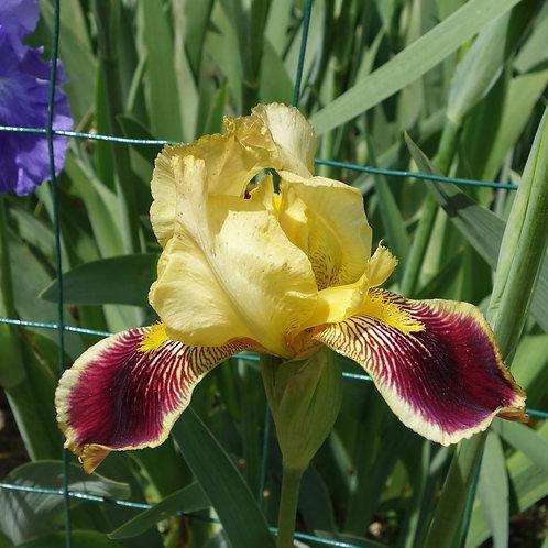 TallBearded Iris 'Burlesque'