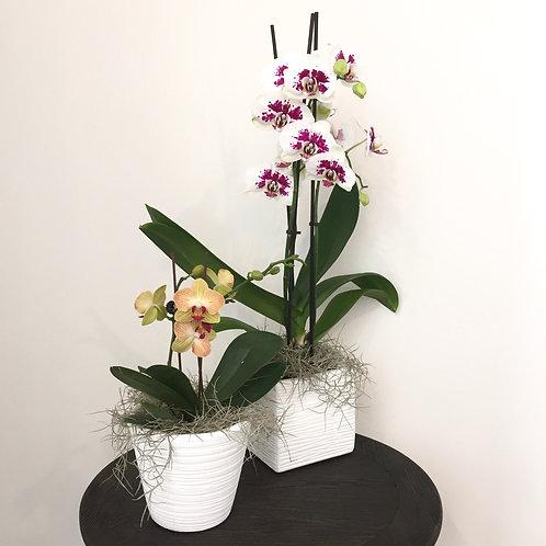 Plants - Orchid ($60 - $80)
