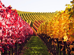 Vineyard-in-Germany_Autumn-colors
