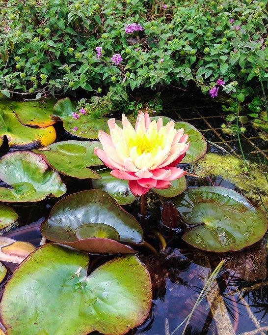 Flor de loto by Andrea LLoa-Kouri