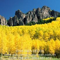 autumn_birches_mountains_yellow_colorado