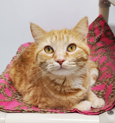 Selena is a young adult looking for her forever home.  She has a completely orange coat which is unusual for a female cat