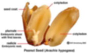 Peanut diagram.jpg