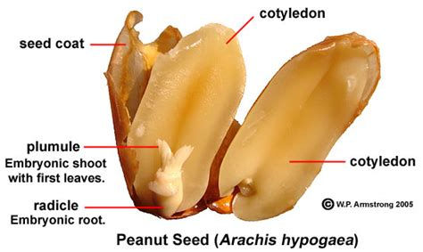 Peanut diagram.jpg