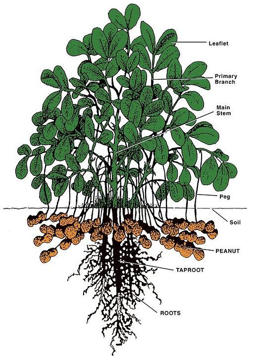 Peanut Plants.jpg