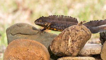 Great crested newt (Triturus cristatus)