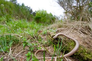 Slow worm (Anguis fragilis)