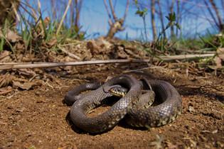 Grass snake (Natrix helvetica)