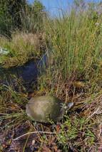 Florida cooter (Pseudemys concinna floridana)