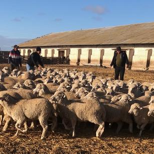 Овцепоголовье