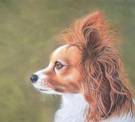 Dog Portrait - Pepe the Papillon