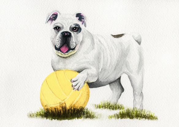 Bulldog with football