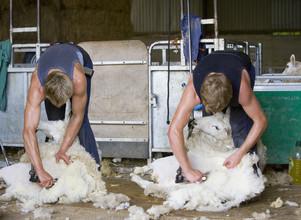 Shearing Traineeship Changes