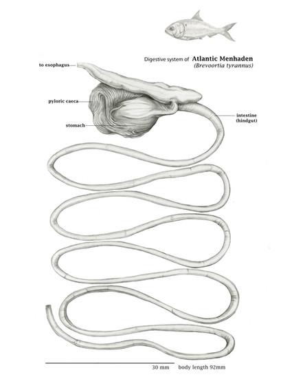 Digestive System of Atlanic Menhaden