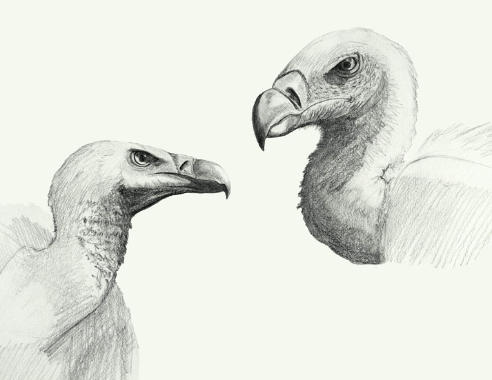 Vulture Head Studies