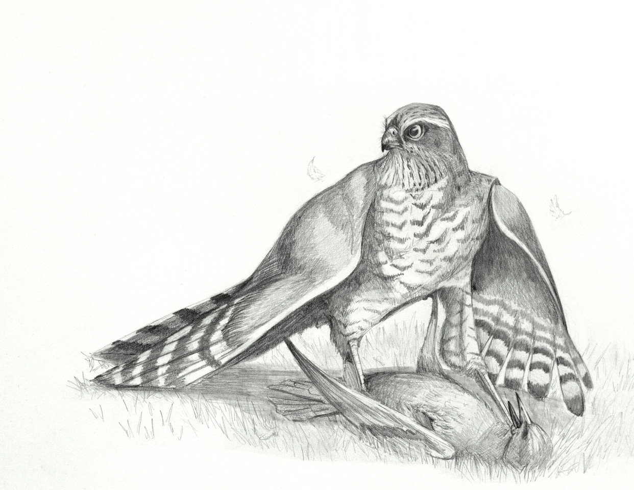 Eurasian Sparrowhawk's prey restraint