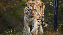 Rare Amur Tiger Makes Her Entrance at Connecticut's Beardsley Zoo
