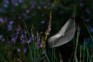 Spinnennetz und Besenheide