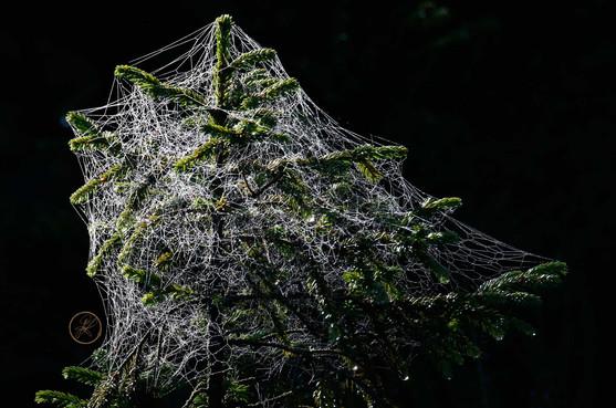 Spinnennetze im Morgentau