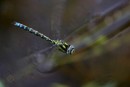 Blaugrüne Mosaikjungfer